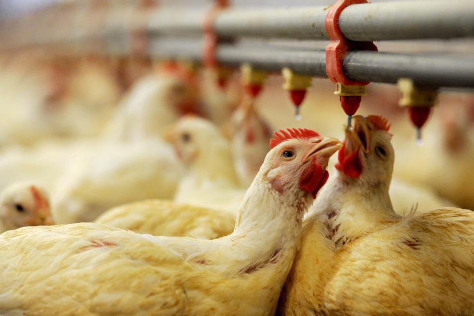MDR filmt heimlich tote Tiere in Öko-Hühnerställen und muss vor Gericht