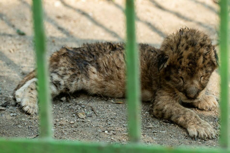 Baby lions dumped in filthy zoo cage and left to struggle for survival alone