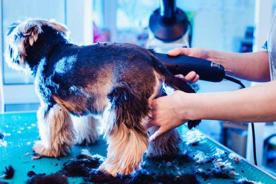 Scheren im Sommer? Ist nicht für alle Hunde ideal.