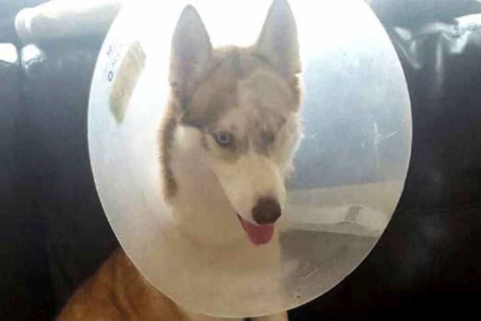 Diesem Husky wurde ein Auge ausgestochen.