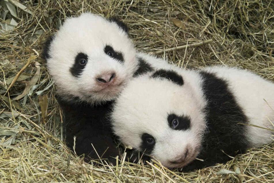 Bist du auch ein Panda im Bett (Symbolbild)?