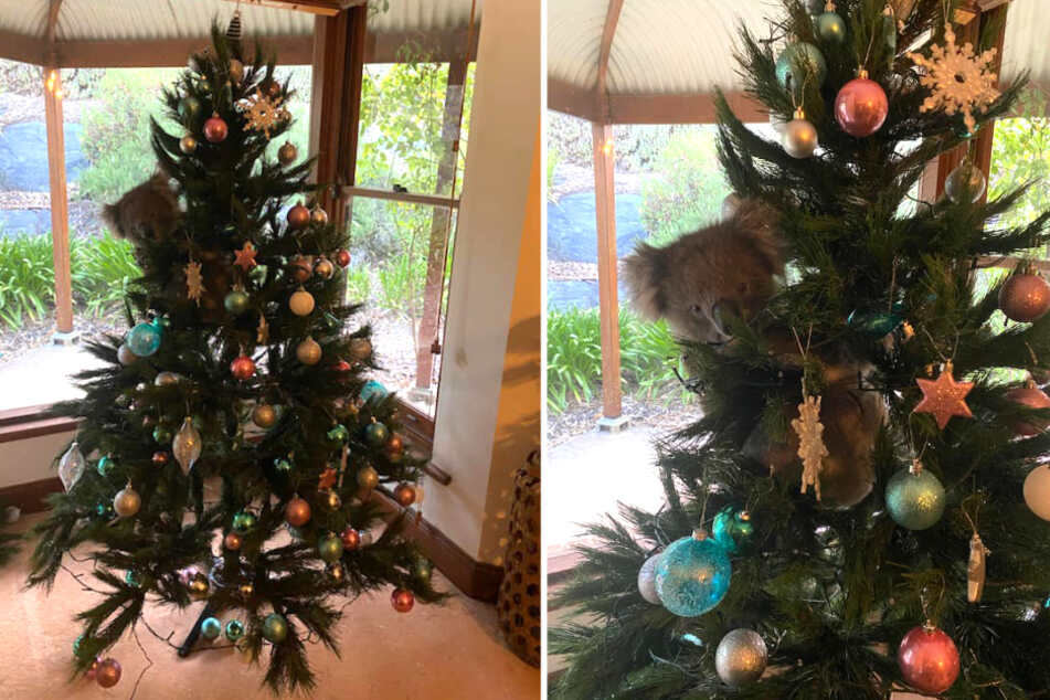 Family comes home to find a real animal decking their Christmas tree!