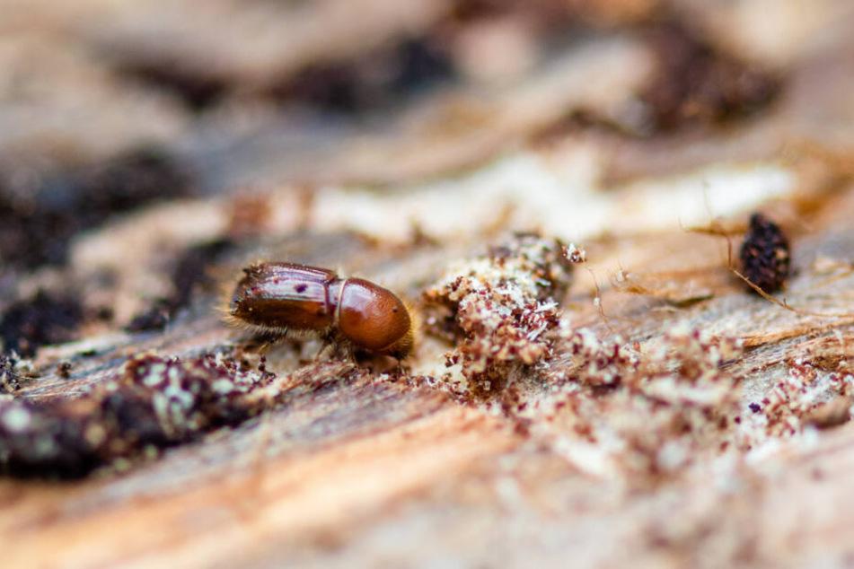 Viele Käfer überwintern bis zum Frühjahr unter der Rinde.