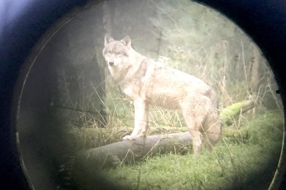 Ein Zielfernrohr erfasst einen Wolf im Fadenkreuz.