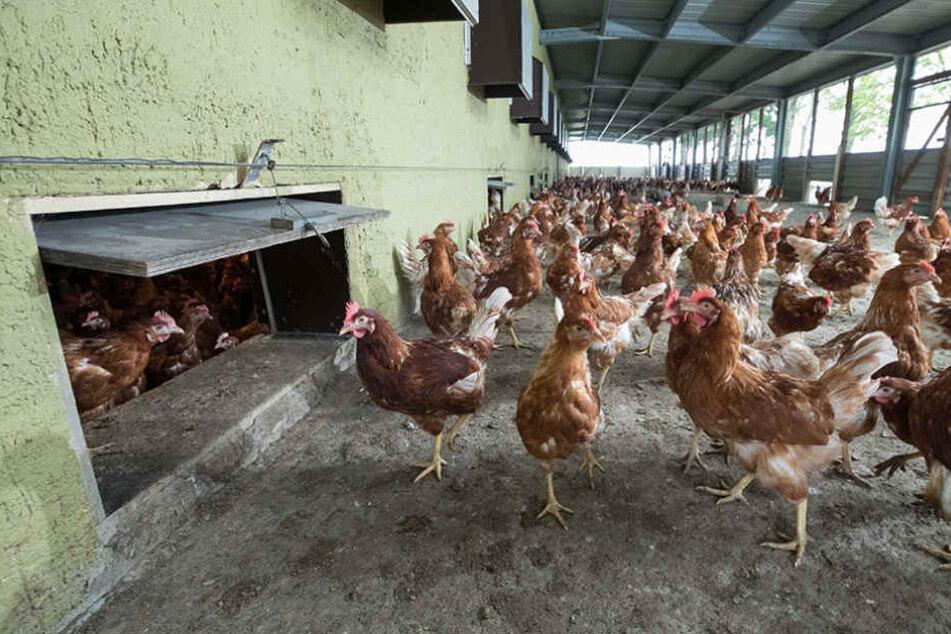 Wo am Tage die Hühner gackern, kroch ein Ganove durch die Luke, um 30 Hennen  zu stibitzen.