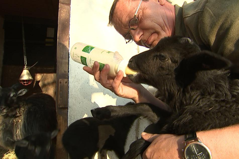 Tierpfleger Mike Rebarz muss die Lämmer mit Flasche und Spritze aufziehen..