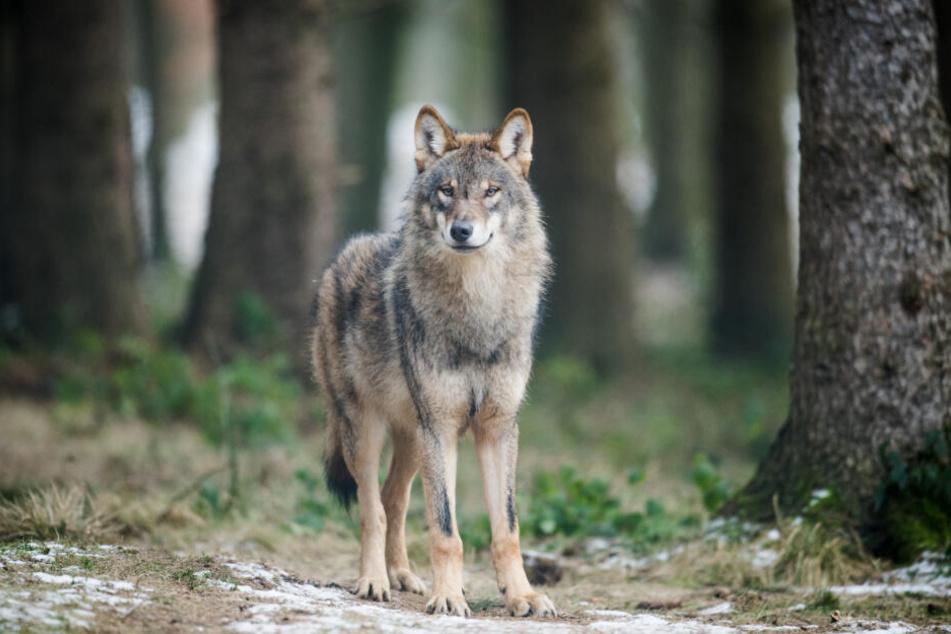 Normal leben die Tiere in freier Wildbahn. So wie hier in Isselburg in Nordrhein-Westfalen.