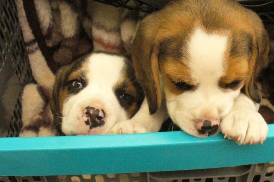 Diese zwei Beagle-Welpen wurden von der Bundespolizei sichergestellt.