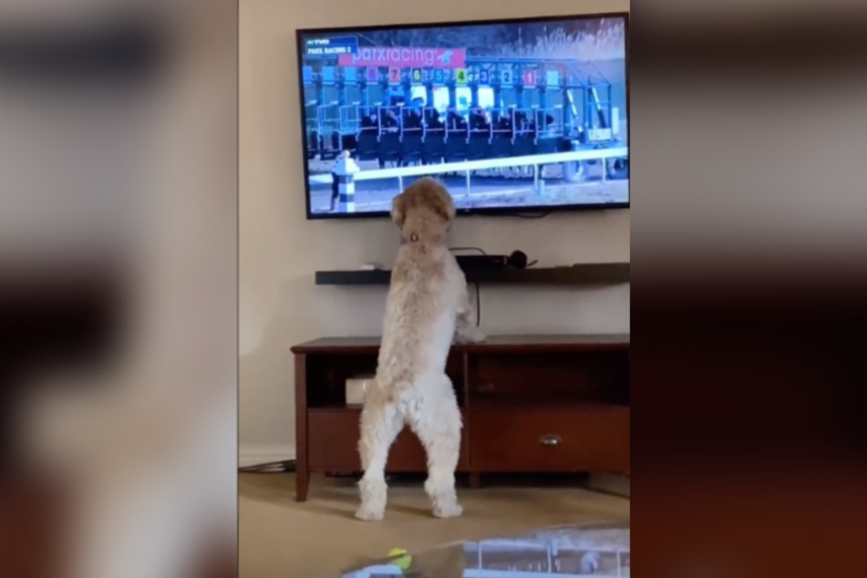 The terrier's enthusiasm is causing plenty of laughs online.