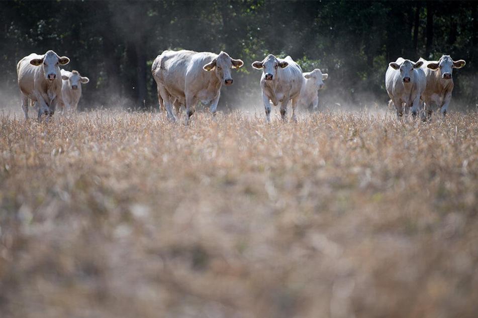 Fast wie in der Sahelzone: Schon im vergangenen Jahr verdorrte auf den Feldern das Futter fürs Vieh.