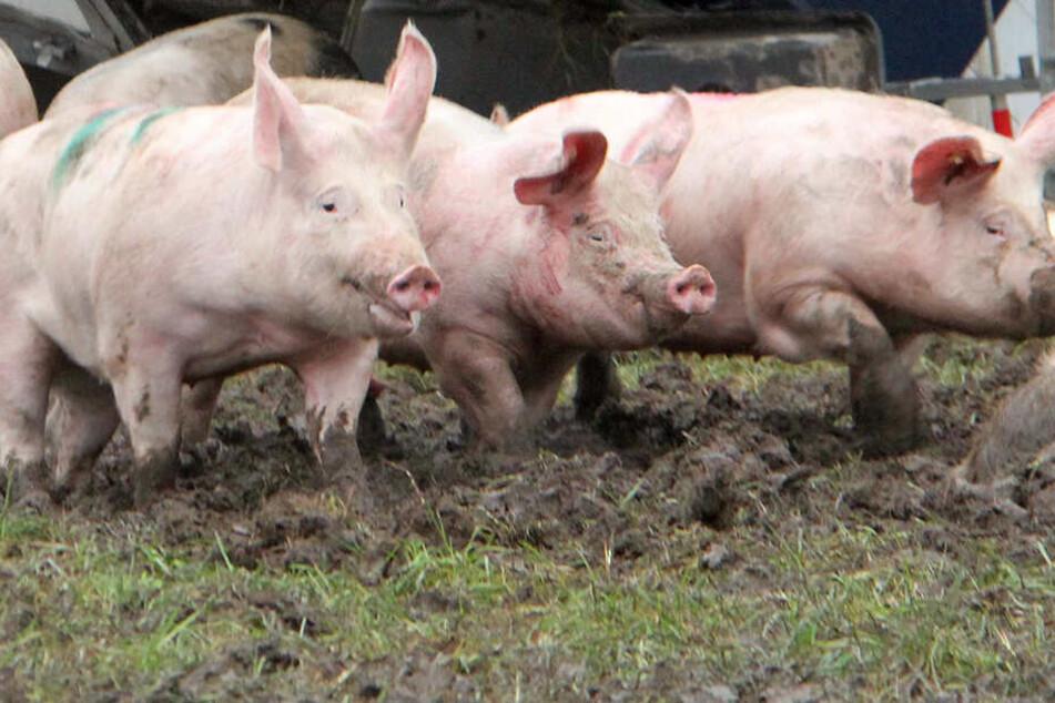 Die toten Schweine sollen über 20 Jahre hinweg gestapelt worden sein. (Symbolbild)