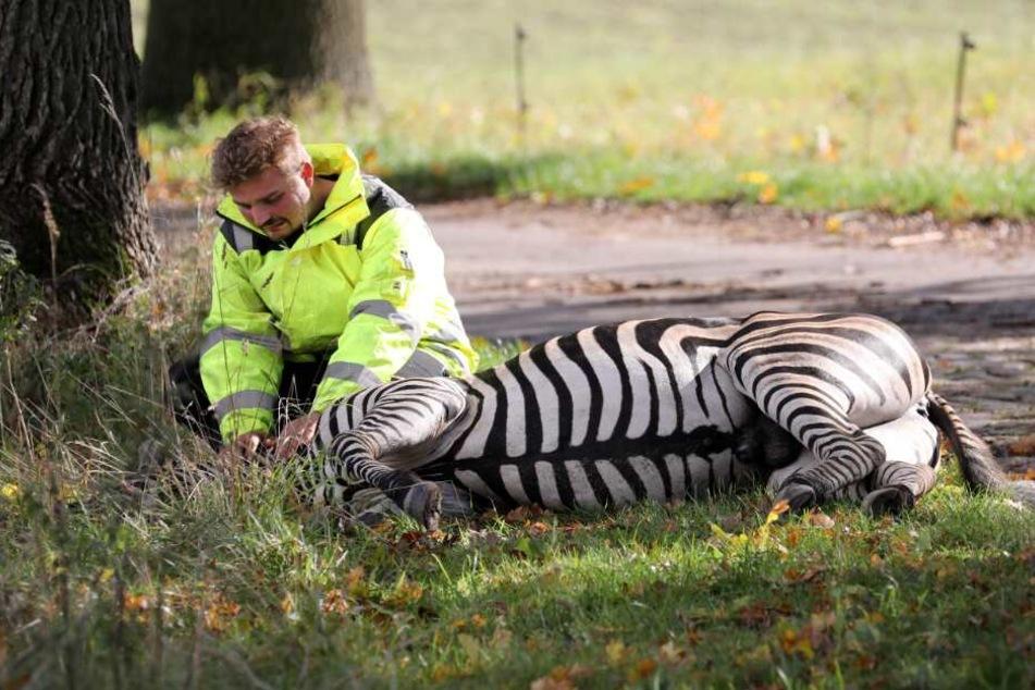 Tödlicher Schuss auf Zirkus-Zebra Pumba: Staatsanwaltschaft trifft Entscheidung