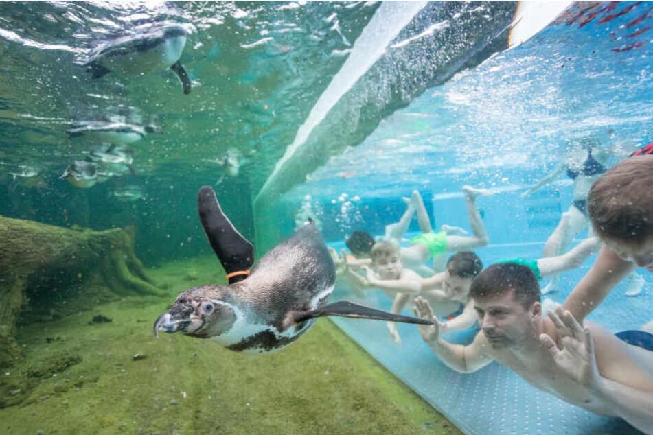 Mit Pinguinen schwimmen, kann man nur in den Spreewelten.