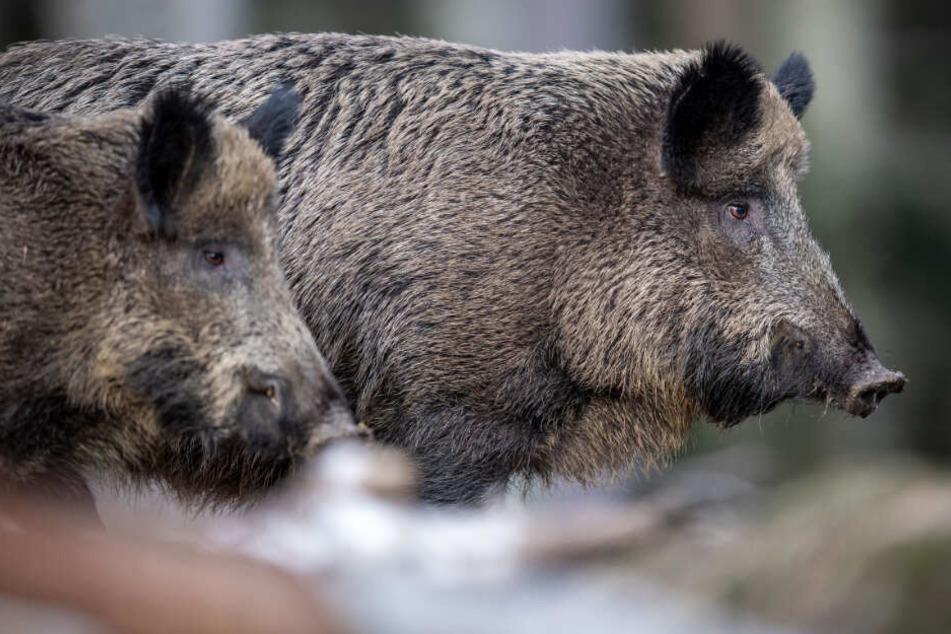 Zwei Wildschweine stehen auf einem Plateau im Wald und beobachten die Umgebung.