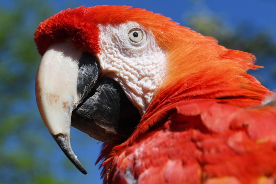 """Papageien sind """"Sprachtalente"""". Sie gelten zudem als außerordentlich klug."""