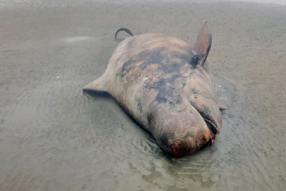 Ein toter Grindwal liegt vor der Insel Juist.
