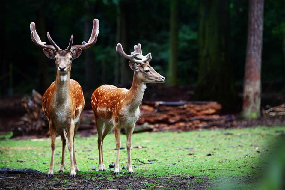 Das städtische Wildgehege im Albertpark ist die Heimat von zwölf Damhirschen.