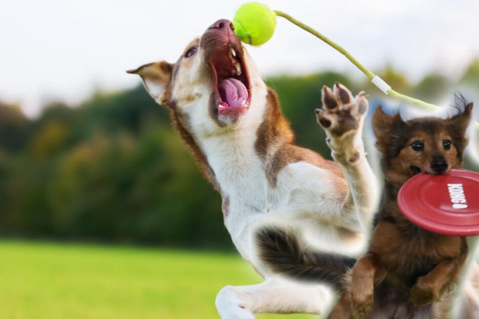 Viele Hunde lieben das Apportieren, auf Dauer kann das aber negative Folgen haben.