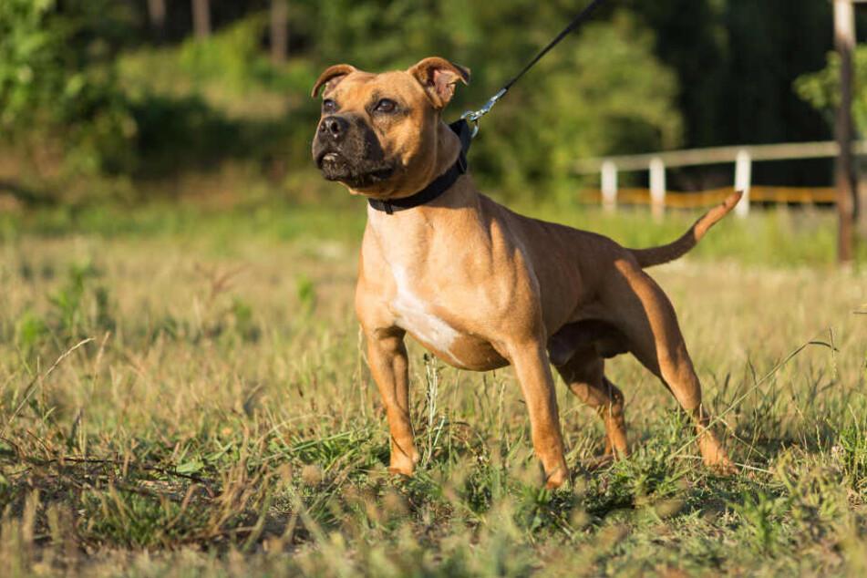 Staffordshire Terrier fallen in Hessen unter die Kampfhunde-Verordnung (Symbolbild).
