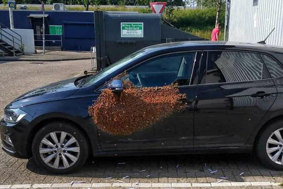 Die 20.000 Bienen hatten es sich auf dem VW gemütlich gemacht.