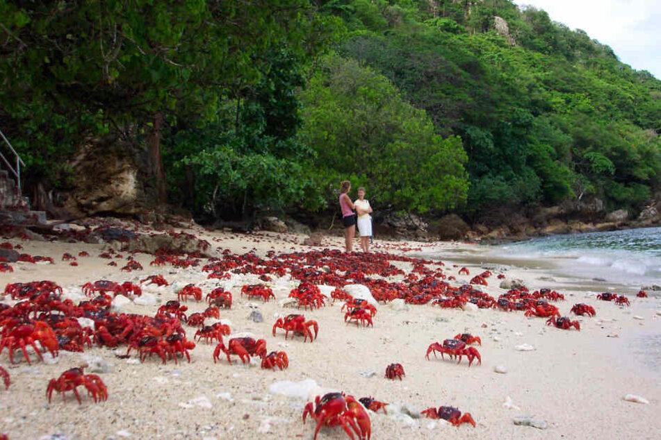 Weihnachtsinsel-Krabben, auch Rote Landkrabben genannt, marschieren über den Strand Richtung Meer.