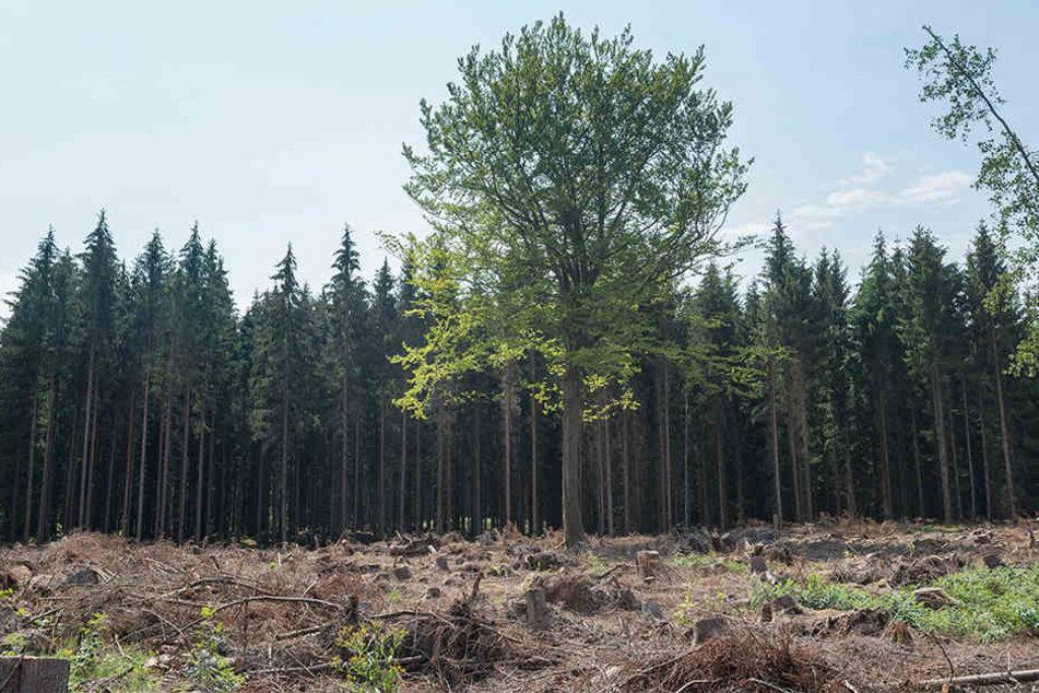 Hat überlebt: Die (damals noch kahle) Buche trotzte den letzten Stürmen. Dahinter reiner Nadelwald. Künftig soll es in Sachsen wieder mehr Mischwald geben.