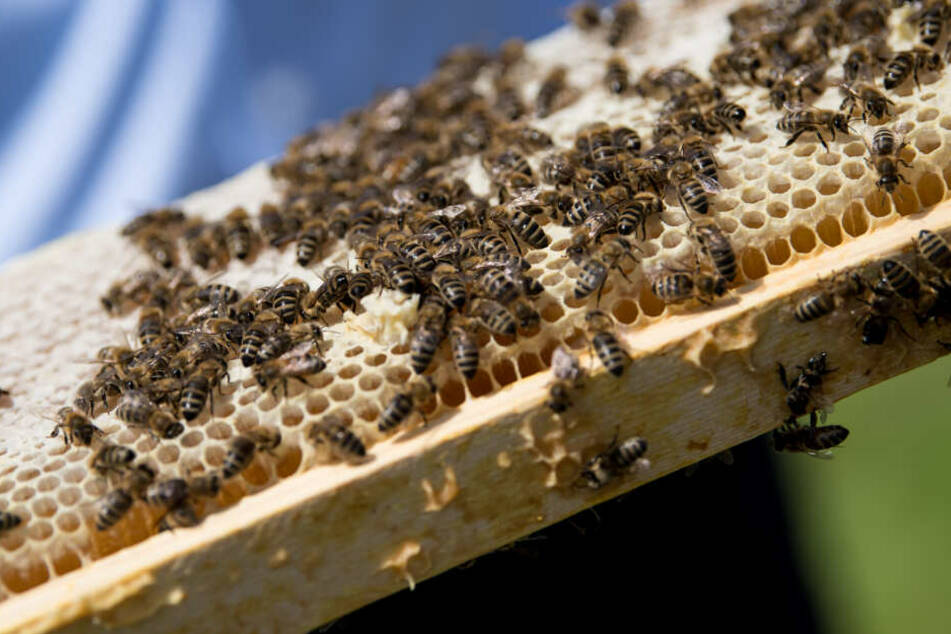 Ein Imker zeigt Bienen, die auf einer Wabe sitzen. Unbekannte haben einen ganzen Bienenstock attackiert. (Symbolbild)