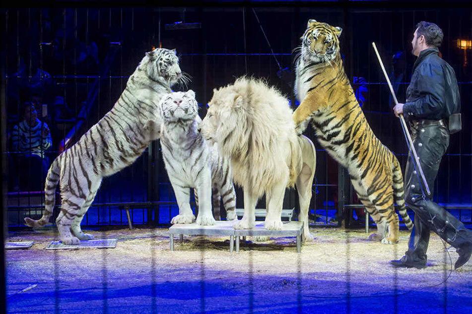 Viele Tiere im Zirkus werden laut Experten nicht artgerecht gehalten.