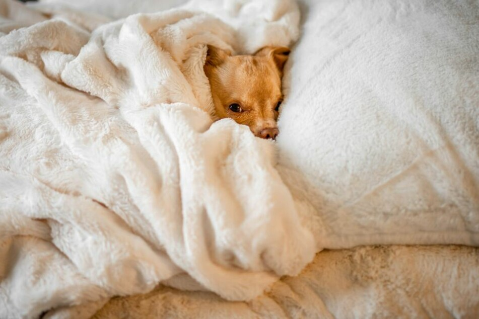 Mhm – der herrlich konzentrierte Duft von Herrchen und Frauchen ist einer der Gründe, warum Hunde gern im Bett schlafen.
