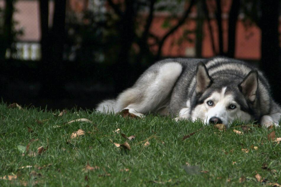 Tragischer Unfall: Husky löst sich von Leine und rennt auf Straße