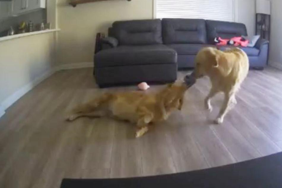 Frauchen filmt heimlich ihre Hunde: Das Ergebnis ist aufschlussreich