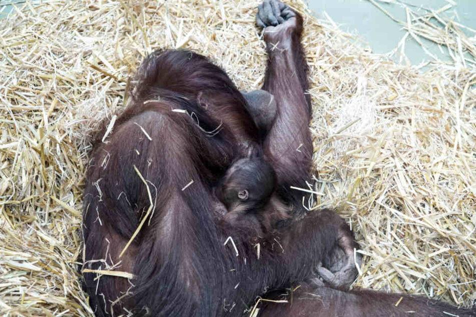 Die kleine Cabu ist erst knapp zwei Wochen alt.