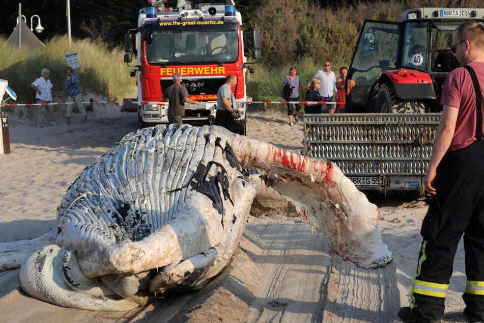 Der bereits längere Zeit tote Wal sah schon entsprechend mitgenommen aus.
