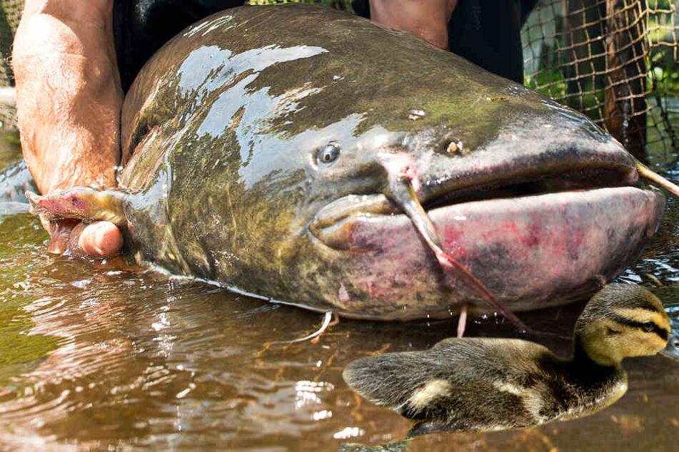 Der gewaltige Wels soll alle Fische im Teich gefressen und danach auch Jagd auf die Küken von Wasservögeln gemacht haben (Symbolbild).