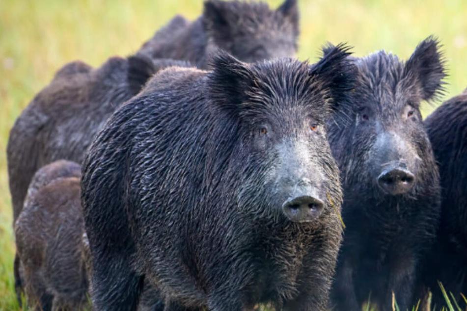 Körperteile fehlten! Horde wilder Schweine beißt Frau zu Tode