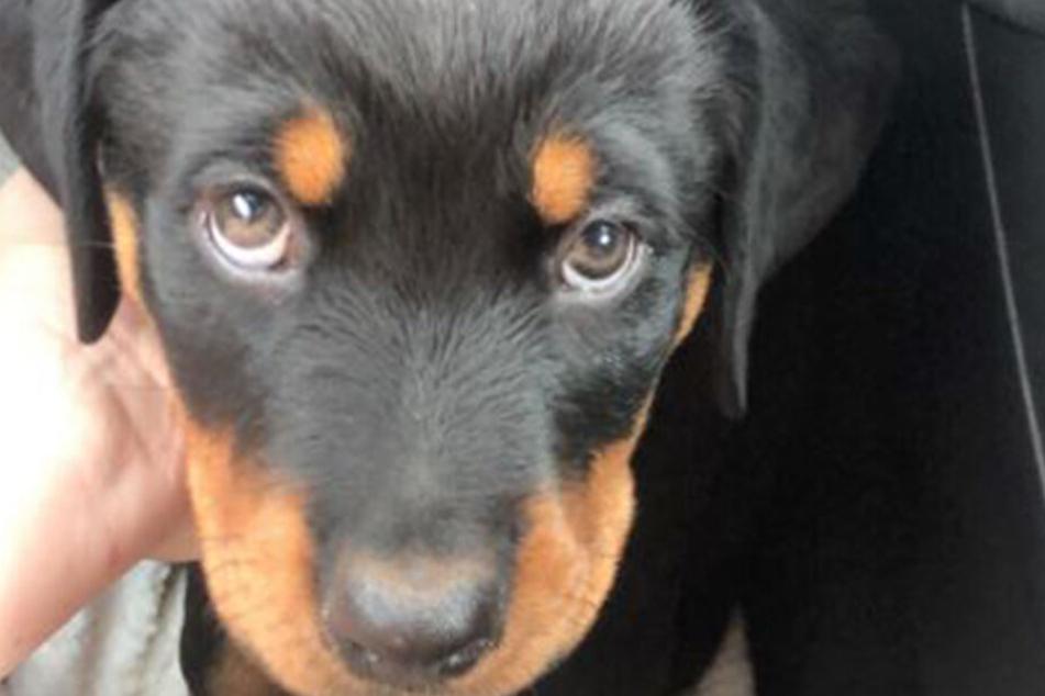 Was für ein Hundeblick: Welpe Bella flog aus dem Supermarkt wieder raus.