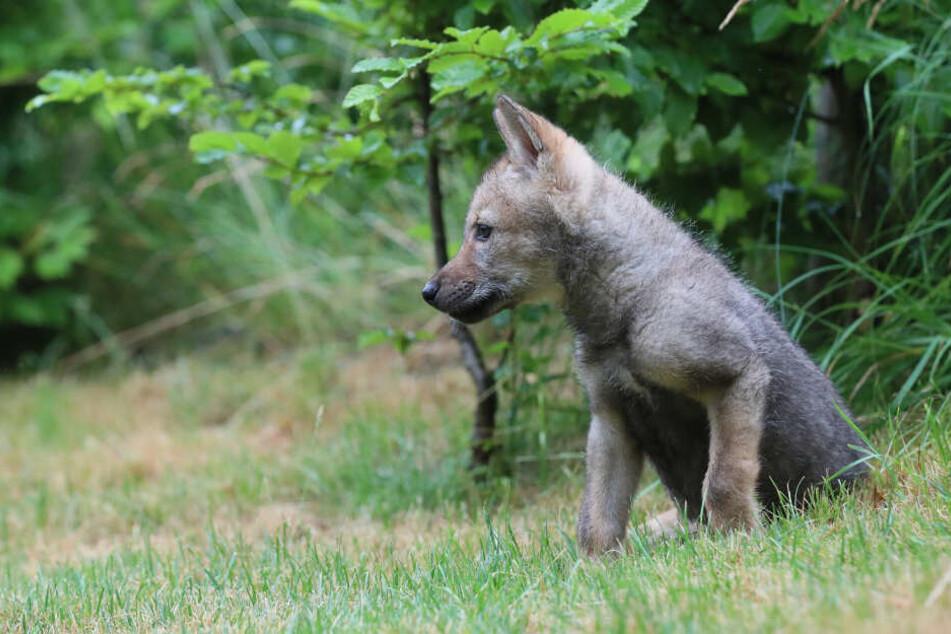 Die kleine sächsische Wölfin hat eine neue Heimat im Westen gefunden.