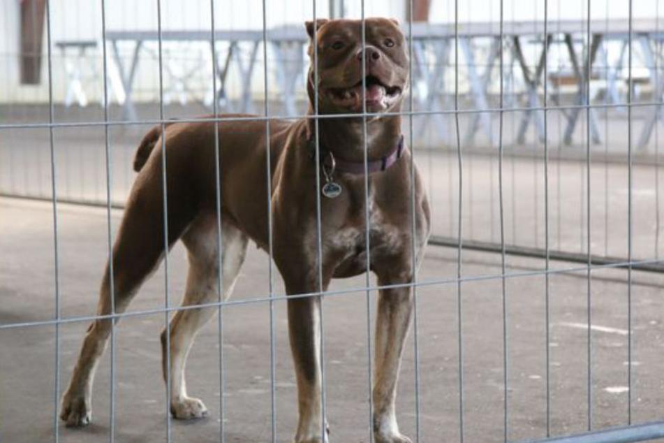 Die kräftige Hündin, ein Mix mit Genen von vermutlich Bulldogge, Pitbull Terrier und American Staffordshire Terrier, scheiterte bei der Prüfung. Der Halterin wurde empfohlen, sich mit dem noch jungen Tier einem Hundetrainer anzuvertrauen, damit die Hündin