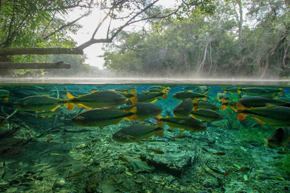 Im größten Binnenfeuchtgebiet der Erde findet sich die höchste Artenvielfalt in ganz Südamerika. Hier fressen Fische Früchte von den Bäumen.