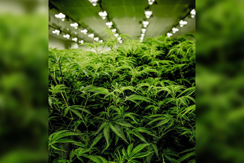 Auf über 3000 Quadratmetern bauten die Männer Cannabispflanzen an. (Symbolbild)