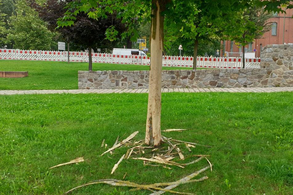 Nun können sie nur noch gefällt werden: Rinde von mehreren Ahornbäumen entfernt