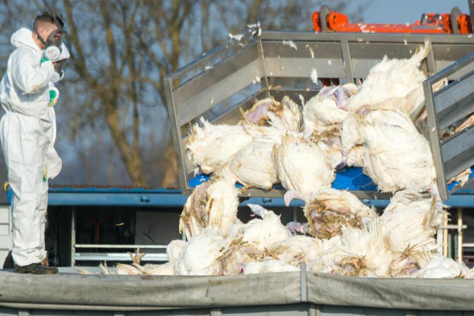 Tote Puten werden vor einem Geflügelhof nach dem Ausbruch der Geflügelpest in einen Container gekippt. In Zingst mussten nach dem Ausbruch der Vogelgrippe in einem Hausgeflügelbestand insgesamt 92 Tiere getötet werden. (Archivfoto)