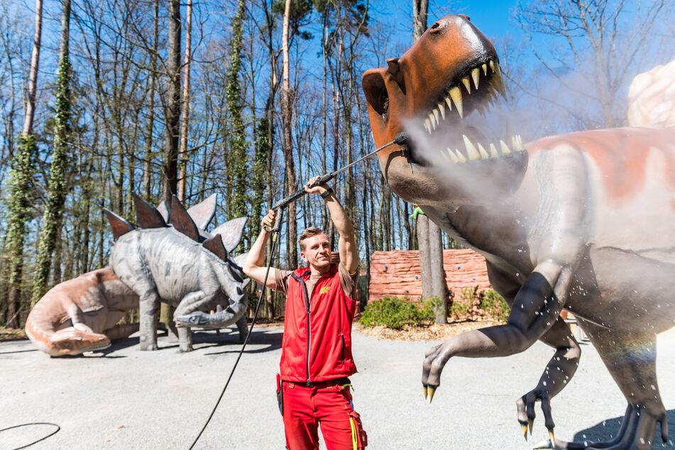 Gärtnermeister Rayk Schulze (29) putzt dem Allosaurus die Zähne.