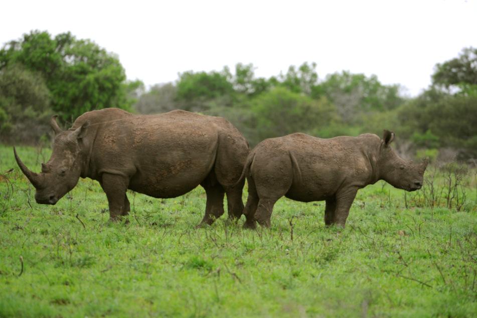 KwaZulu-Natal: Ein Spitzmaulnashorn steht Rücken an Rücken mit seinem Jungtier im Phinda Private Game Reserve.