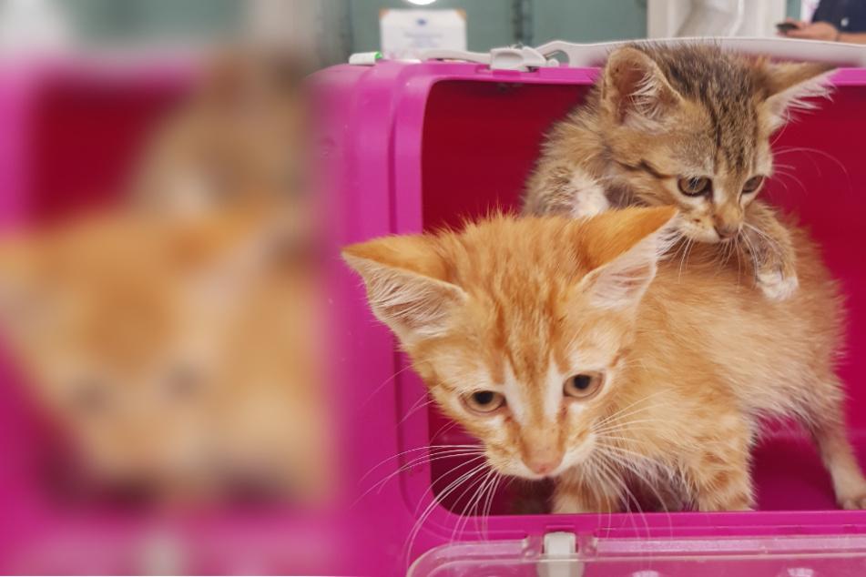 Winzige Katzenbabys zwischen Pakete gestopft! Zoll befreit Tiere aus Transporter