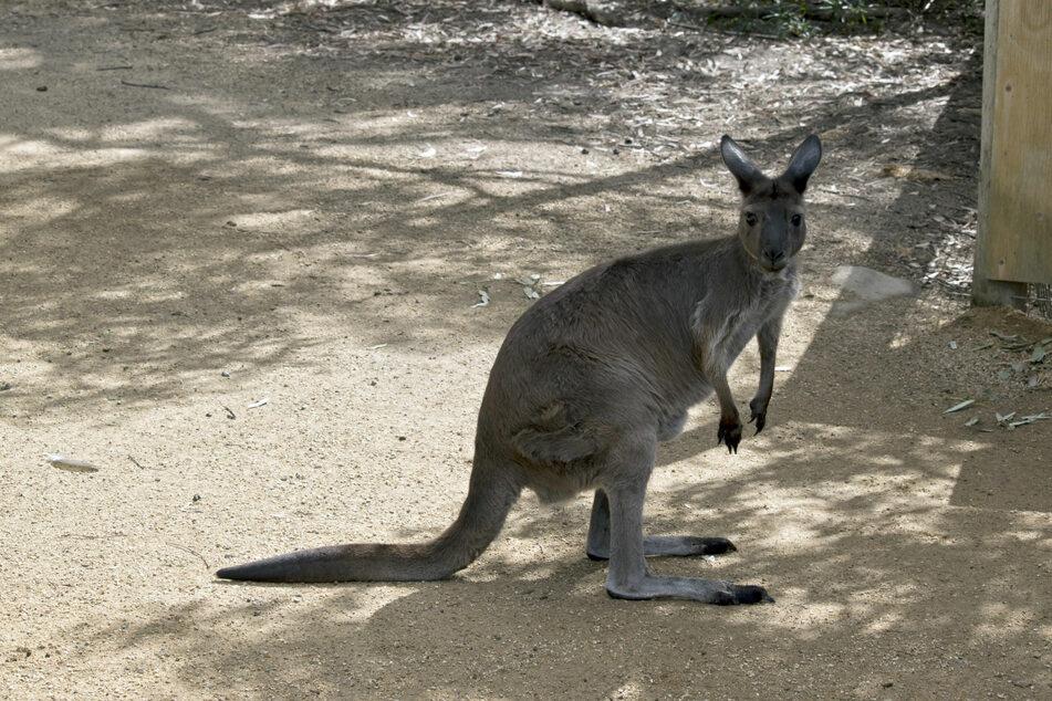 Kängurus können dank ihrer Krallen und ihrer Sprungkraft ganz schön gefährlich werden. (Symbolbild)