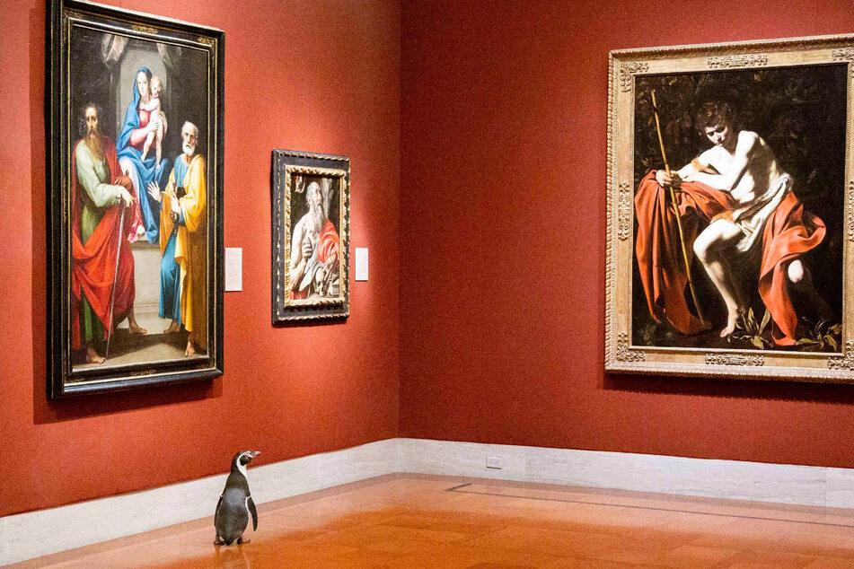 Dieser Pinguin scheint von Caravaggios Werken angezogen zu sein.