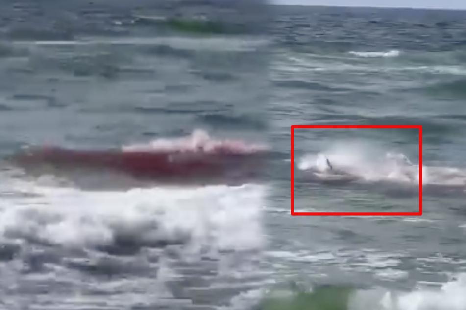 Schock-Video: Blutbad im Meer! Delfin wird von Hai zerfleischt