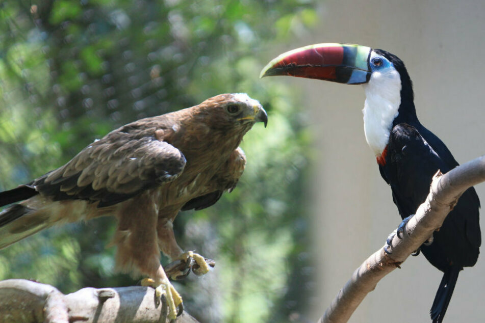 Im Wildgatter lebt jetzt ein Zwergadler und im Tierpark ist ein Pärchen Rotschnabeltukane eingezogen.