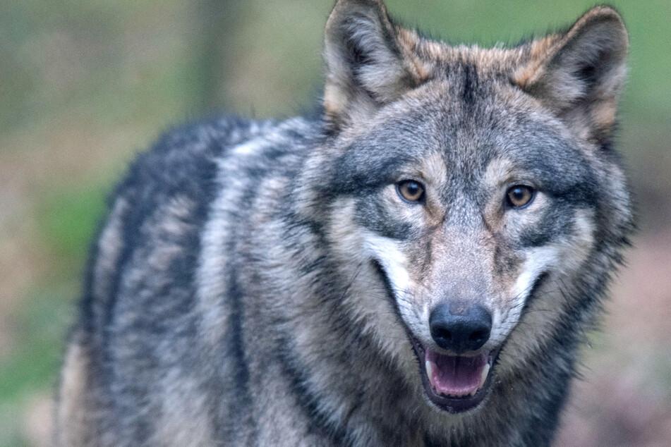 In Bayern breitet sich der Wolf aus. Das Tier ist streng geschützt. (Symbolbild)